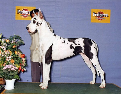 great-dane-m017.jpg